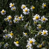 German_chamomile